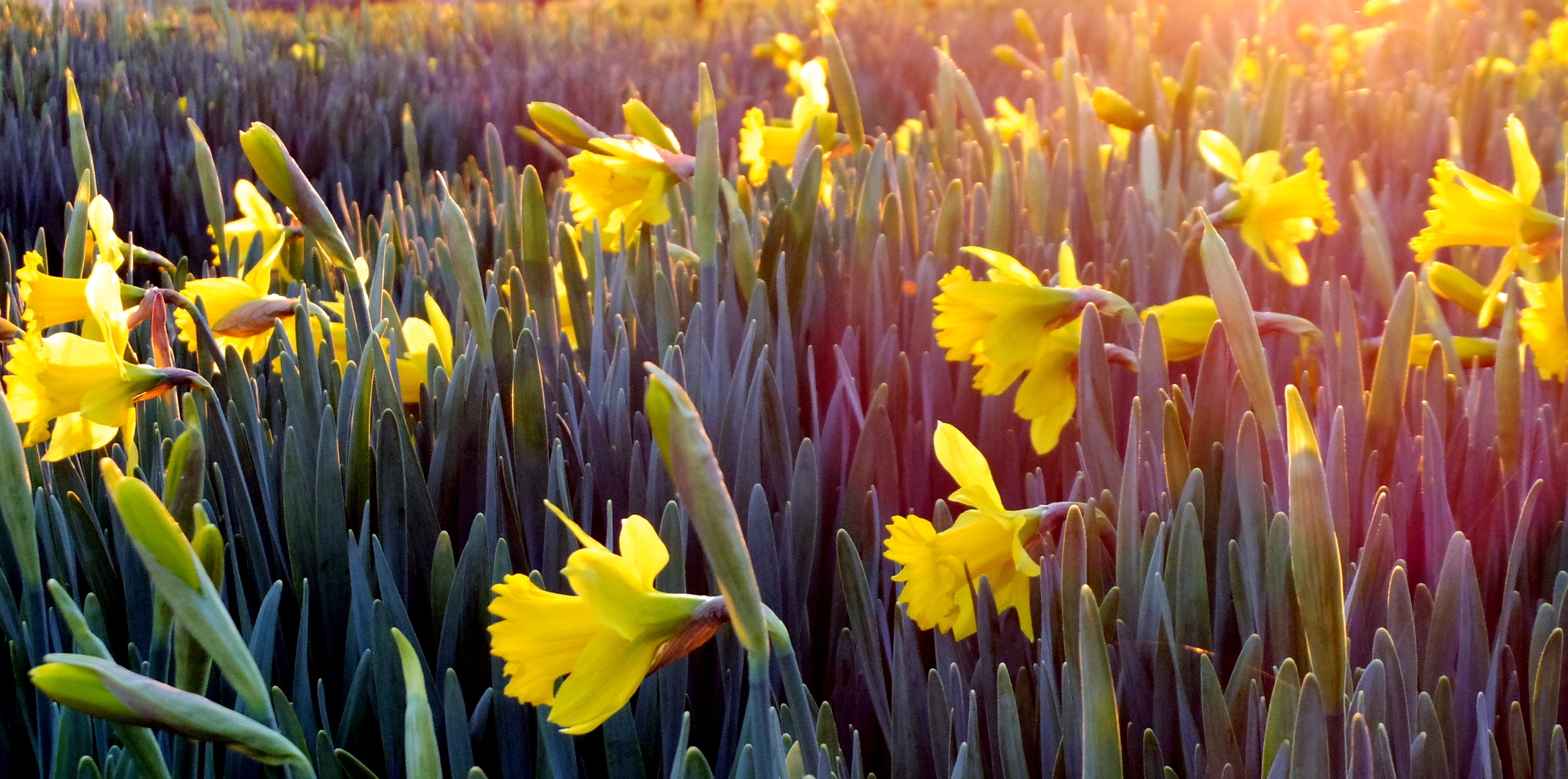 landscape-photography-of-field-covered-with-yellow-flowers-911323